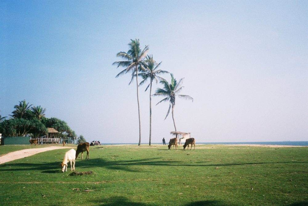 Sri Lanka Coast Cows